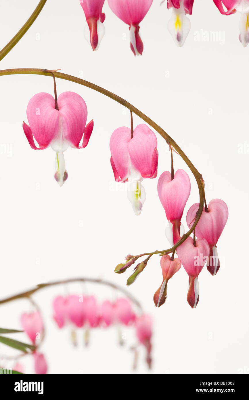 Studio still life floral Dicentra spectabilis heart shaped flowers on a white background - Stock Image