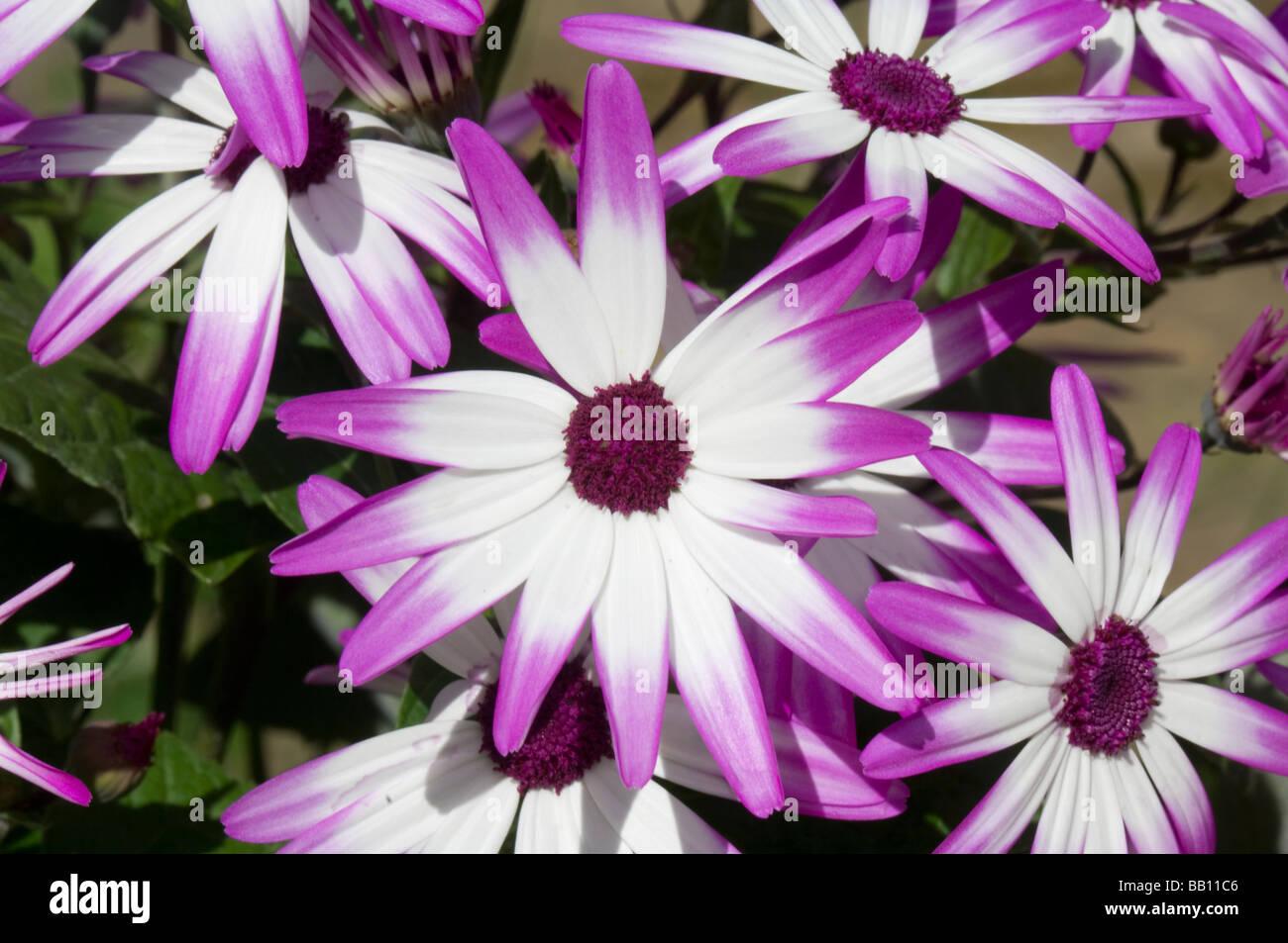 Senetti Pericallis hybrida Magenta bicolour - Stock Image