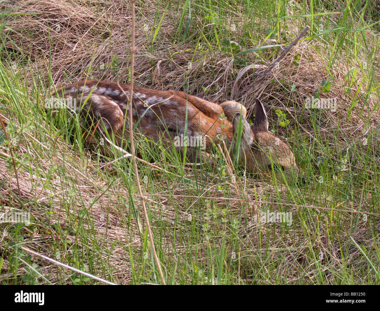 young babe roe deer - Stock Image