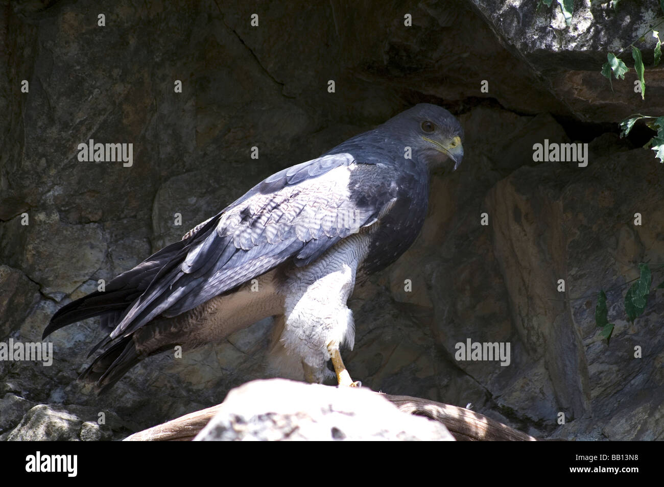 Buzzard.Black-chested Buzzard Eagle 'Geranoaetus melanoleucus' Adult standing on a rock. - Stock Image