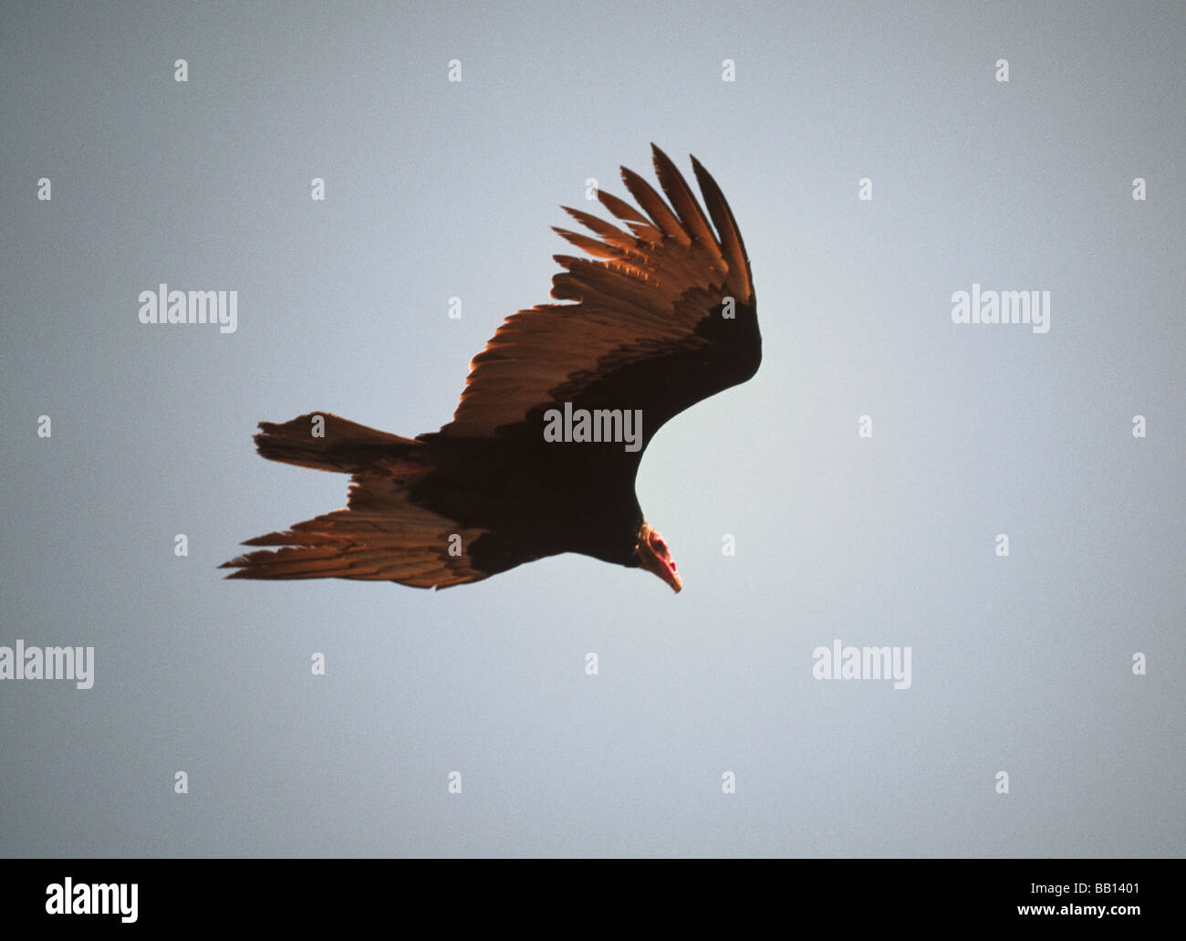 Vulture.Turkey Vulture 'Cathartes aura' Adult in rapid flight; - Stock Image