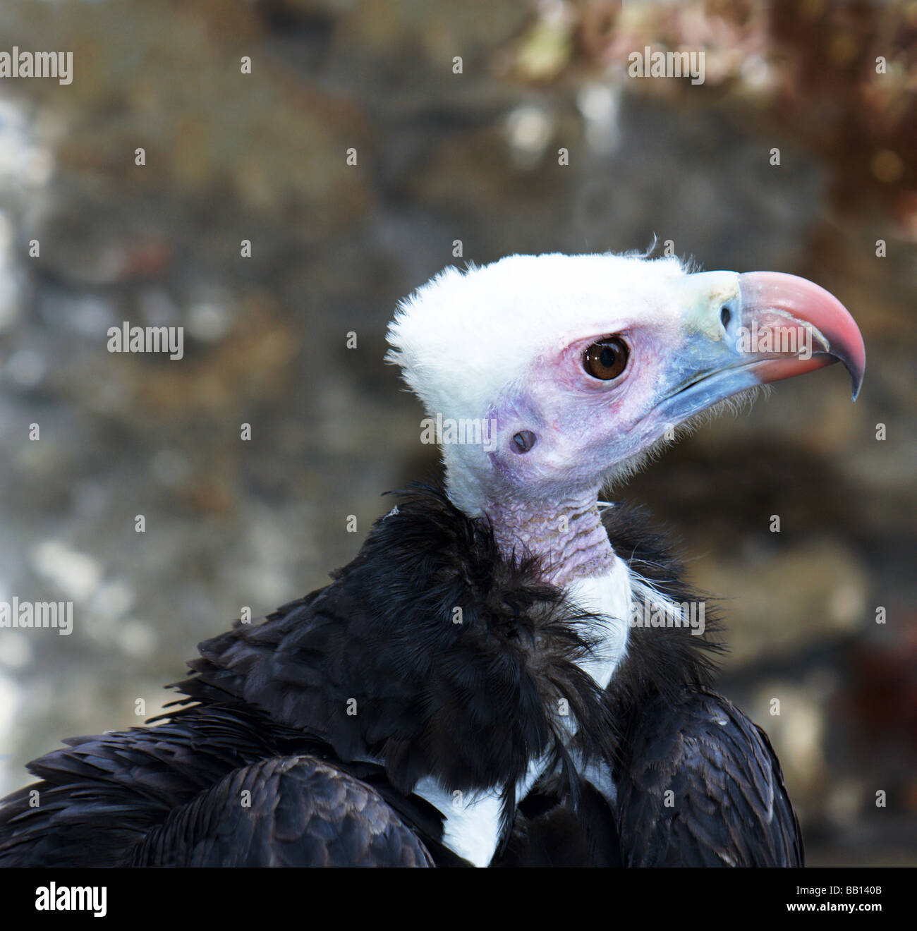 Vulture.White-headed Vulture Adult. Head and shoulders only - Stock Image