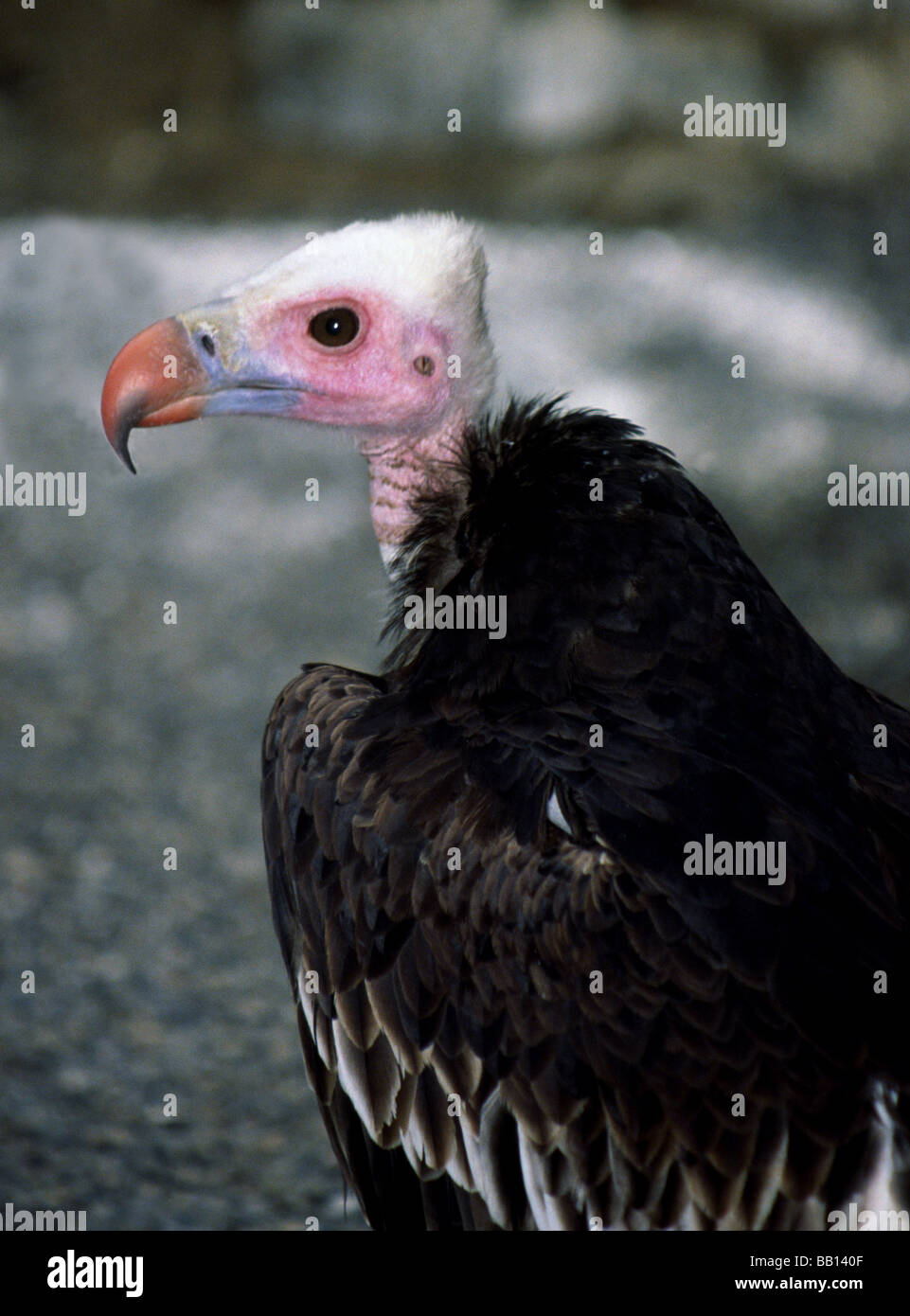 Vulture.White-headed Vulture 'Aegypius occipitalis' Adult - Stock Image