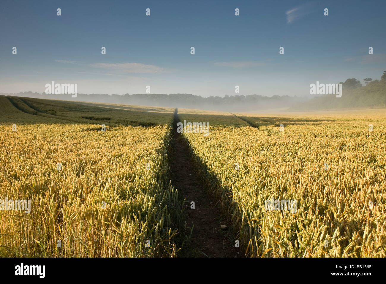 Ripe wheat field at sunrise - Stock Image