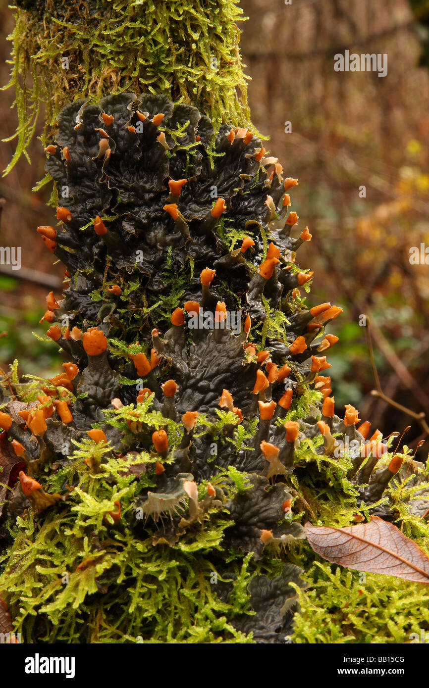 Dog lichen growing on the branch of a tree in very damp conditions. - Stock Image
