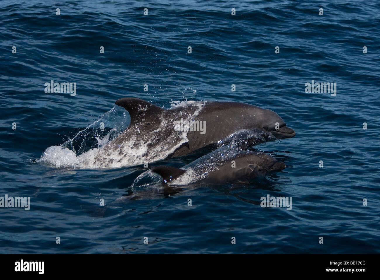 Bottlenose Dolphin tursiops truncatus Großer Tümmler mother and calf pair surfacing - Stock Image