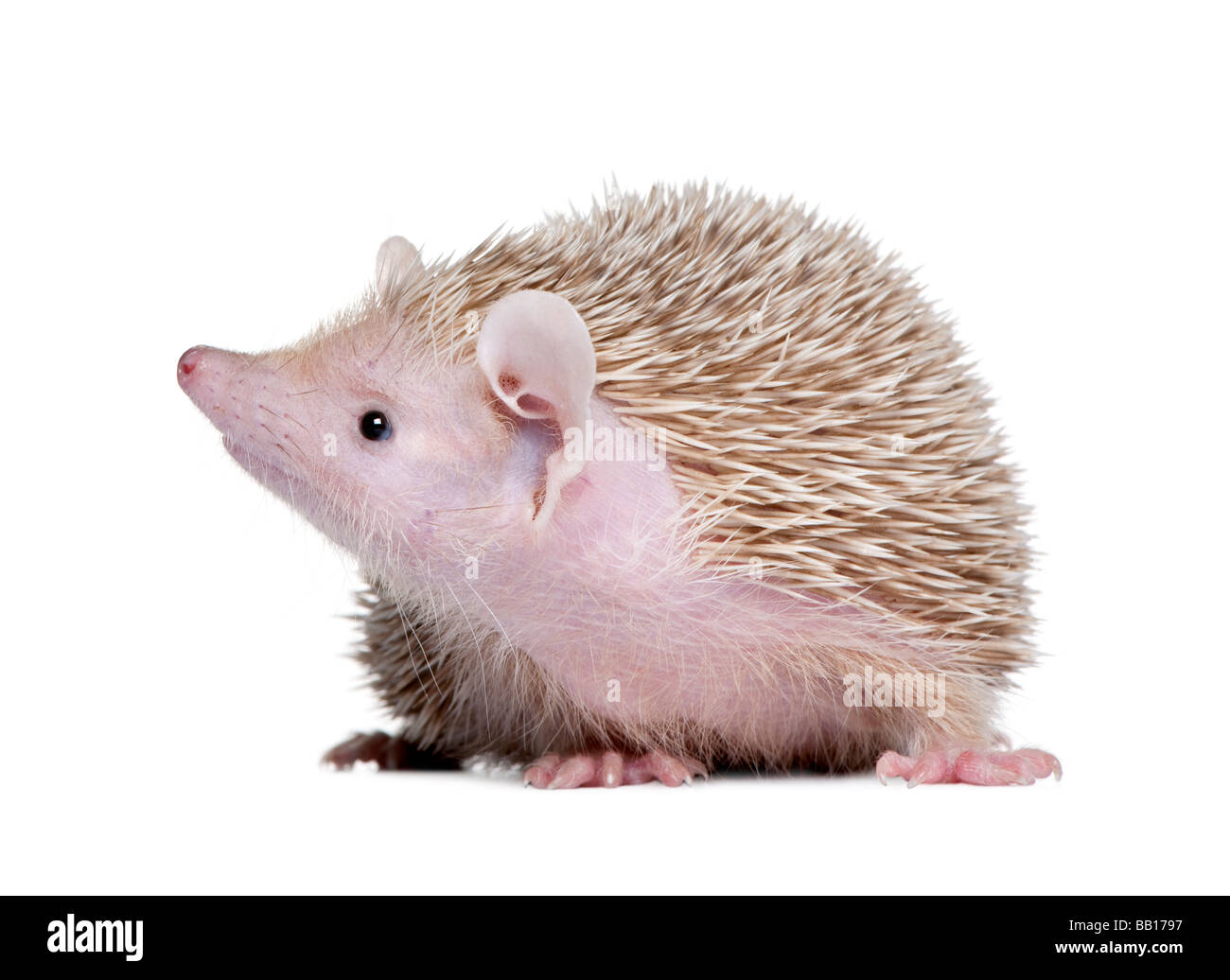 Lesser Hedgehog Tenrec Echinops telfairi in front of a white background It is endemic to Madagascar - Stock Image