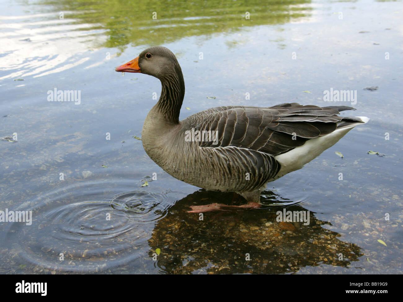 Greylag Goose, Anser anser, Anatidae - Stock Image