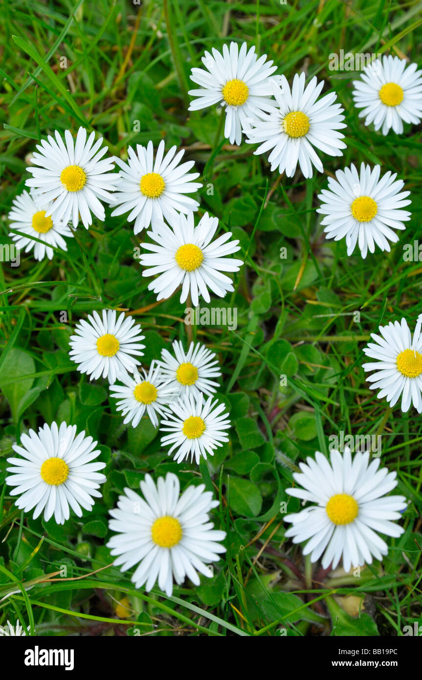 Daisies in a Lawn - aerial view - Stock Image