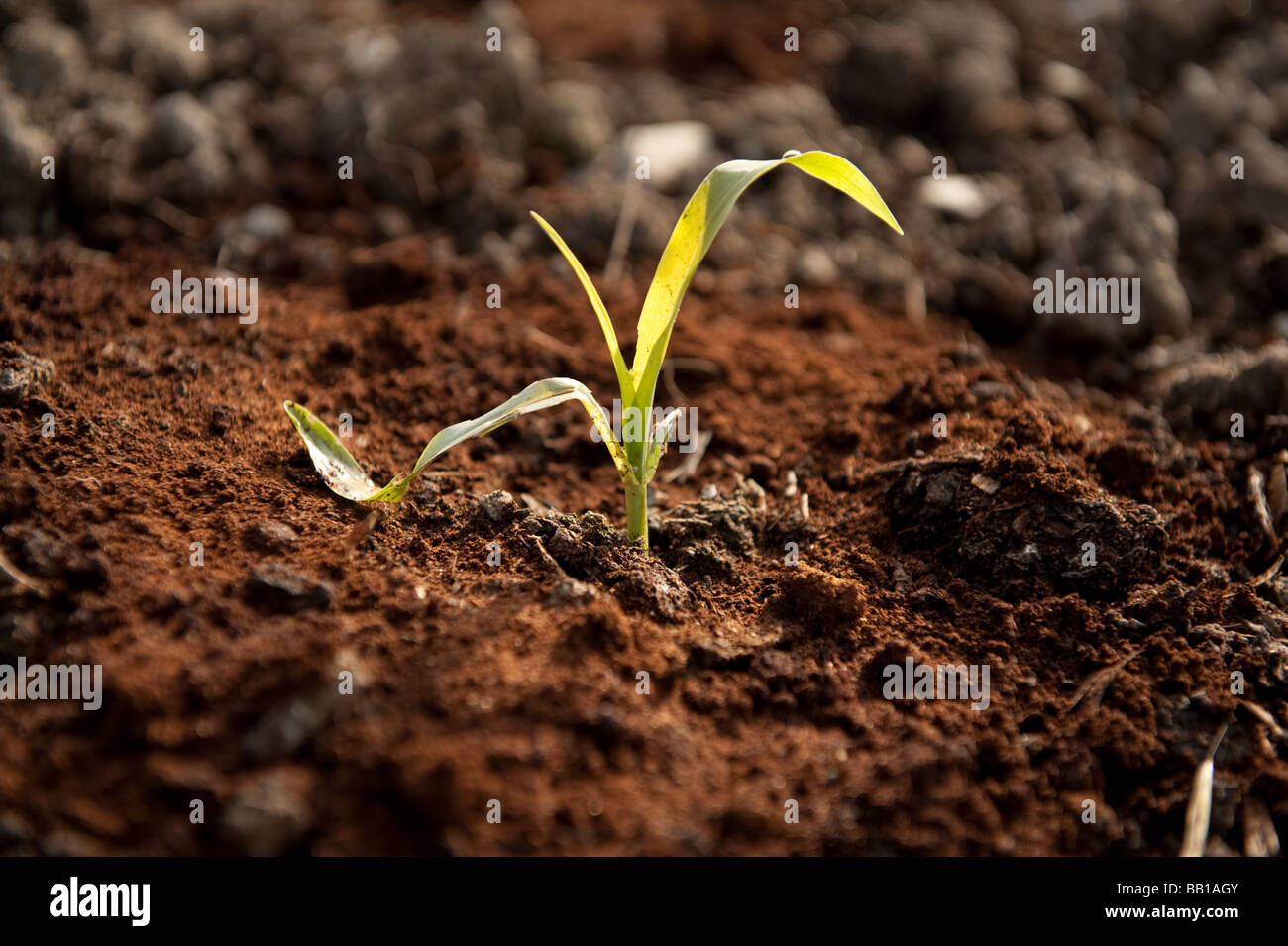 Coffee grounds spread around Young shoots of Corn plants to protect ...