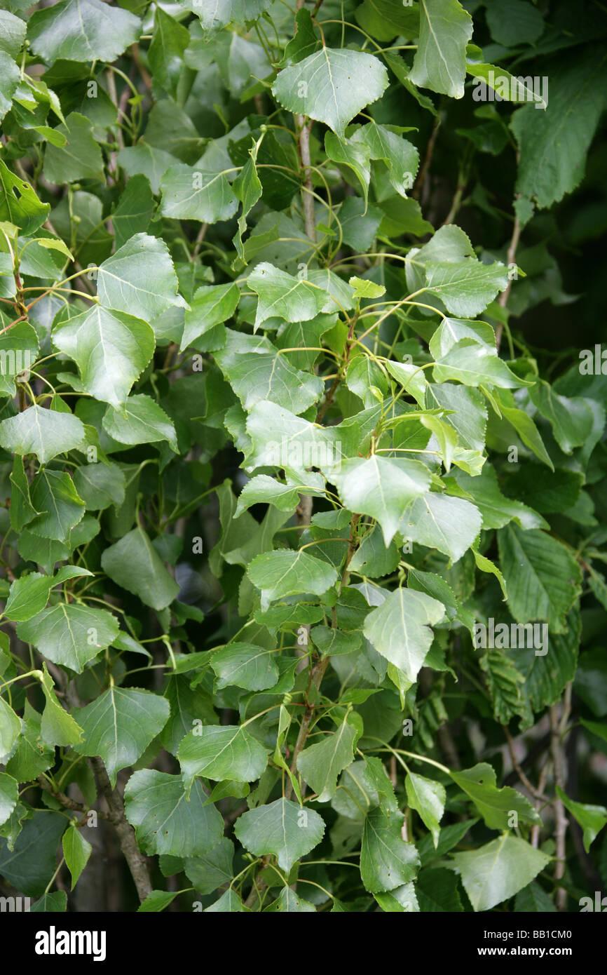 Black Poplar or Lombardy Poplar, Populus nigra, Salicaceae Stock Photo