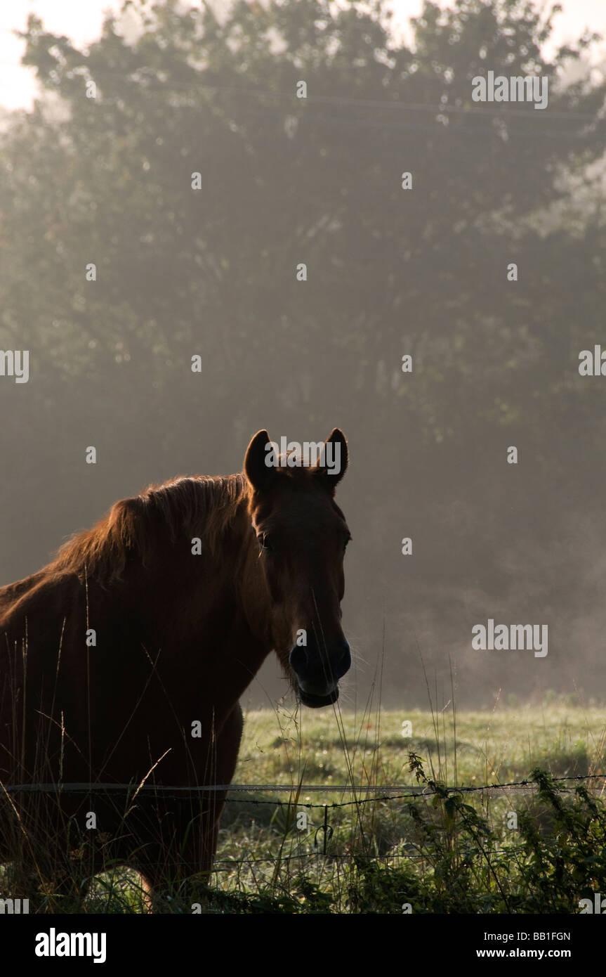 Horse in field in early morning fog Suffolk UK East Anglia - Stock Image