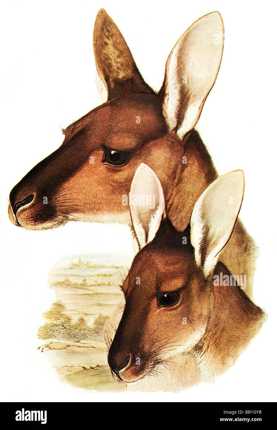 Illustration of the australian marsupial mammal The Western Grey Kangaroo, Macropus fuliginosus - Stock Image
