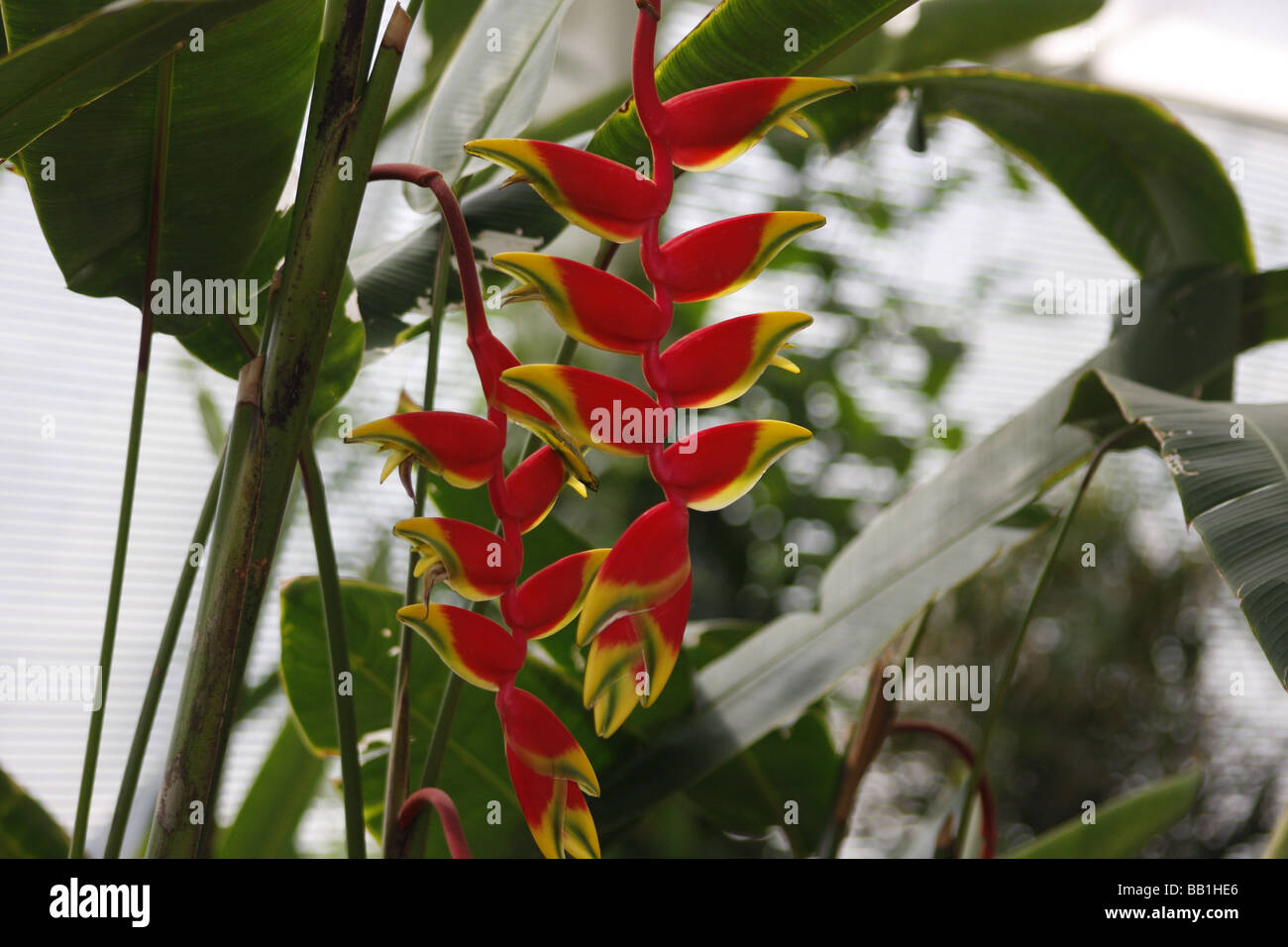 Lobster Claw - Heliconia Rostrata - Stock Image