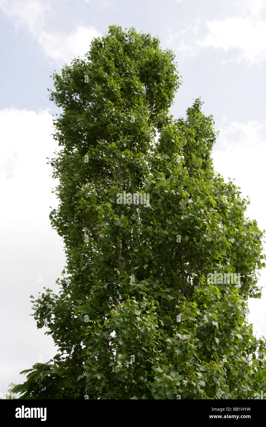 Black Poplar or Lombardy Poplar, Populus nigra, Salicaceae Stock Photo