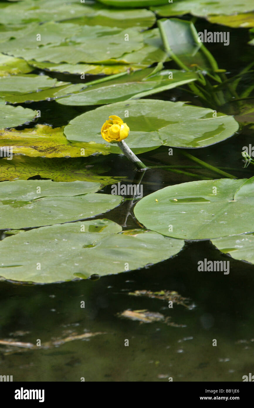 Yellow water lily nuphar lutea nymphaeaceae aka spatterdock cow yellow water lily nuphar lutea nymphaeaceae aka spatterdock cow lily or yellow pond lily izmirmasajfo