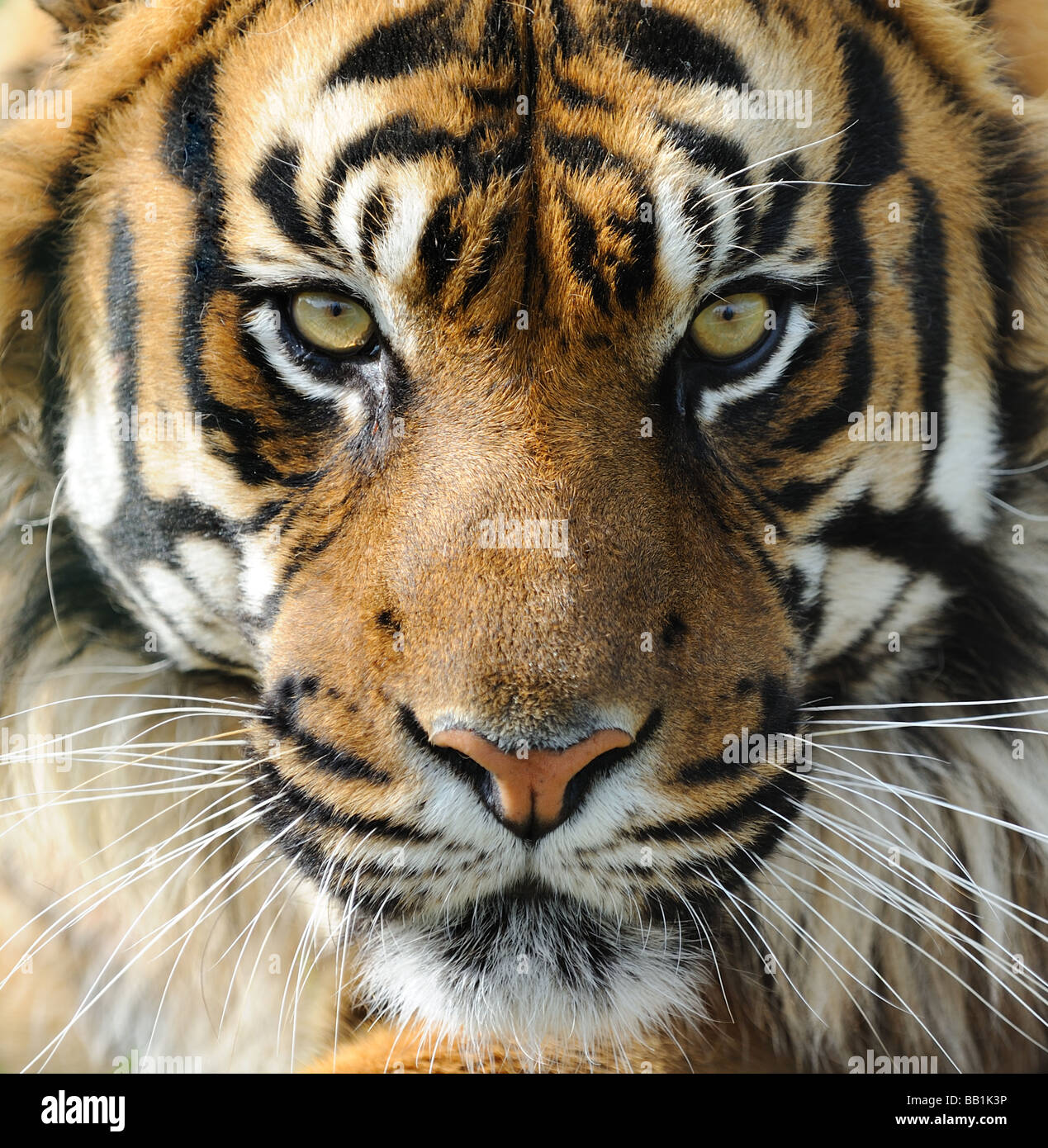 Tiger: Tiger Face Stock Photos & Tiger Face Stock Images