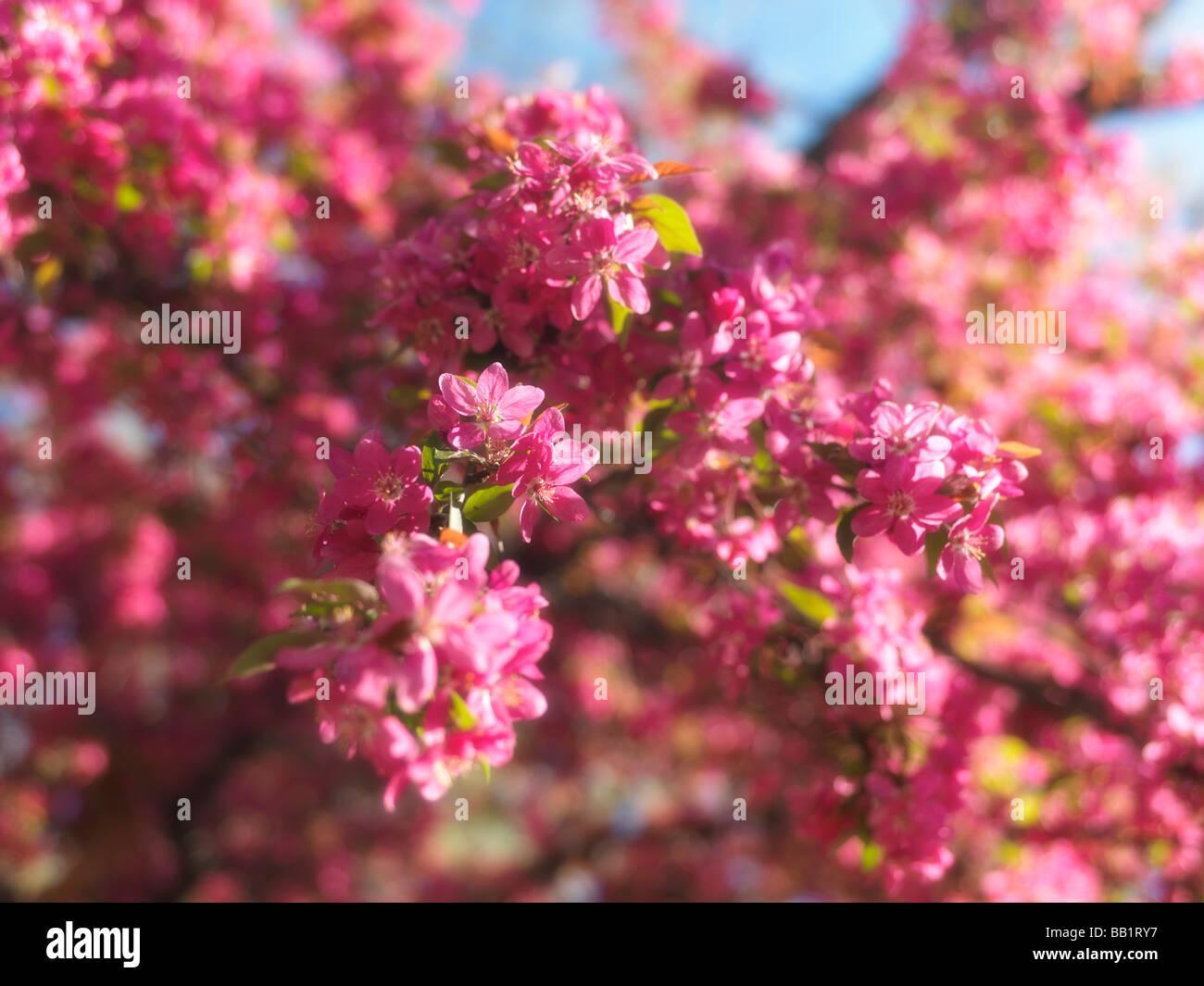 Purple Flowers Of Blossoming Crabapple Tree Toronto Ontario Canada