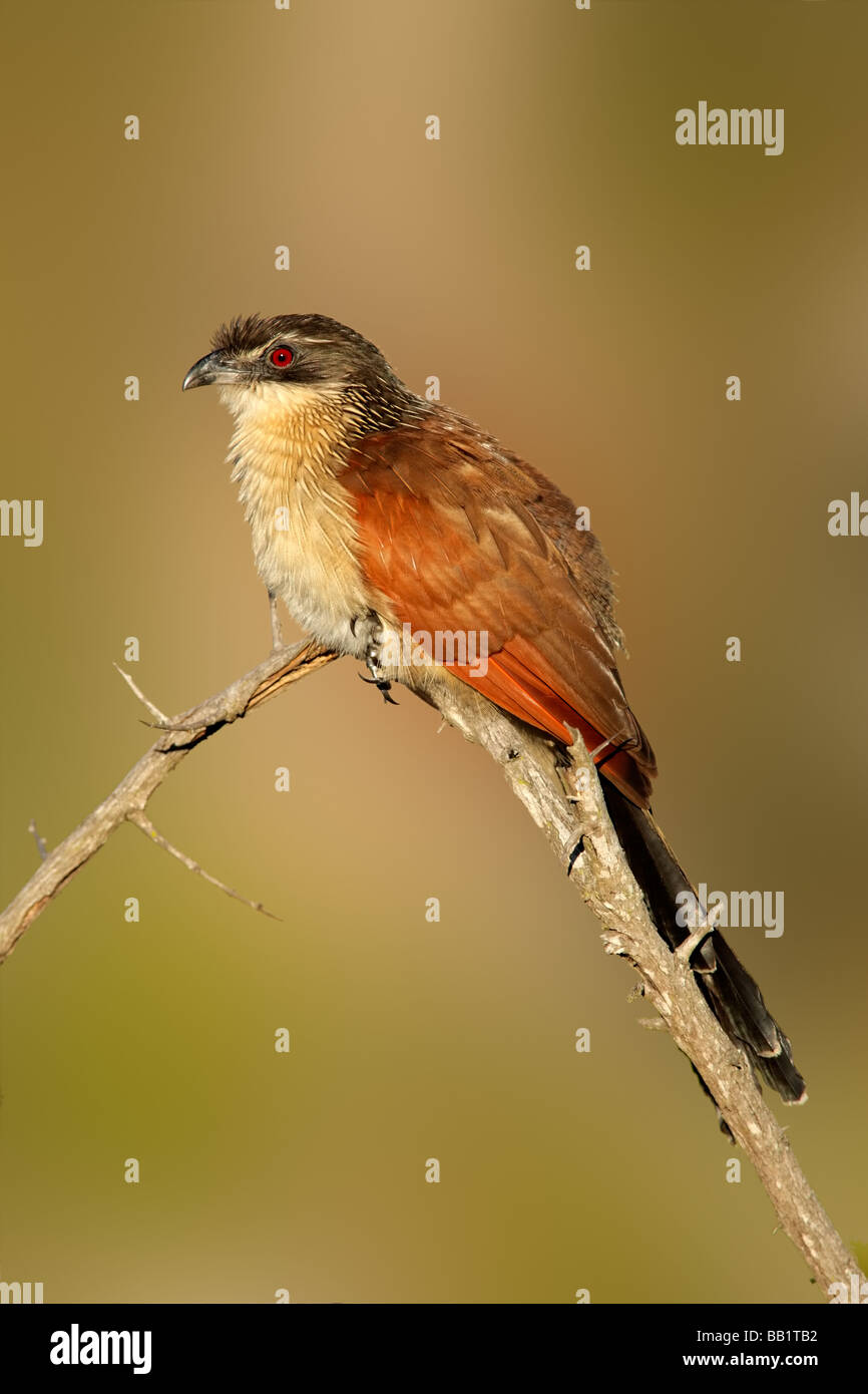 A burchell's coucal (Centropus burchellii) perched on a branch, South Africa - Stock Image