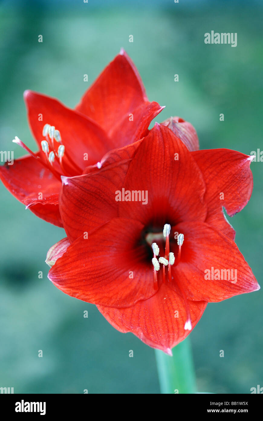 CLOSE UP OF RED AMARYLLIS FLOWER Stock Photo
