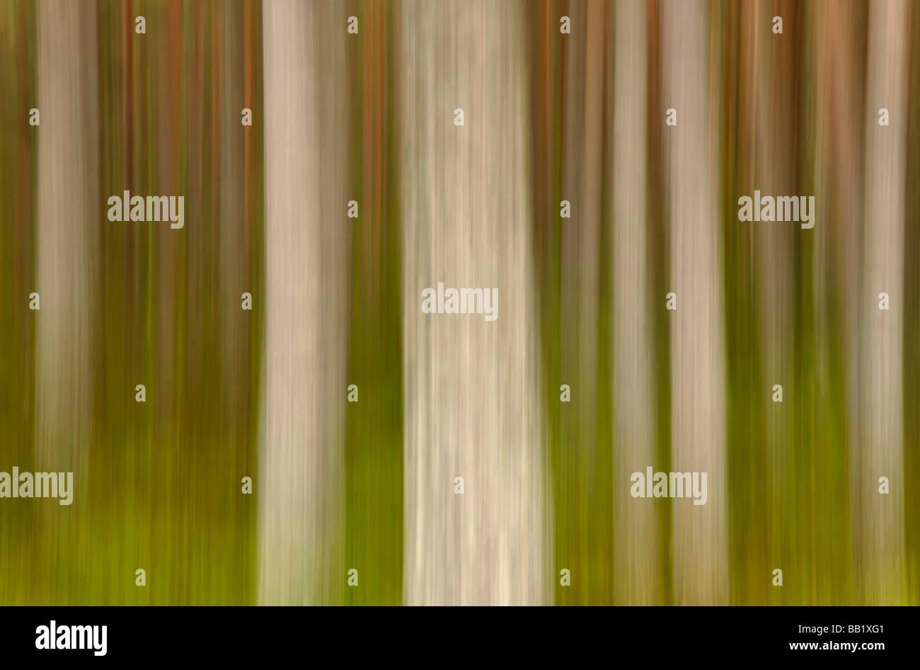 Pine tree trunks near Glenmore Lodge Cairngorms Scotland )intentional camera movement) Stock Photo