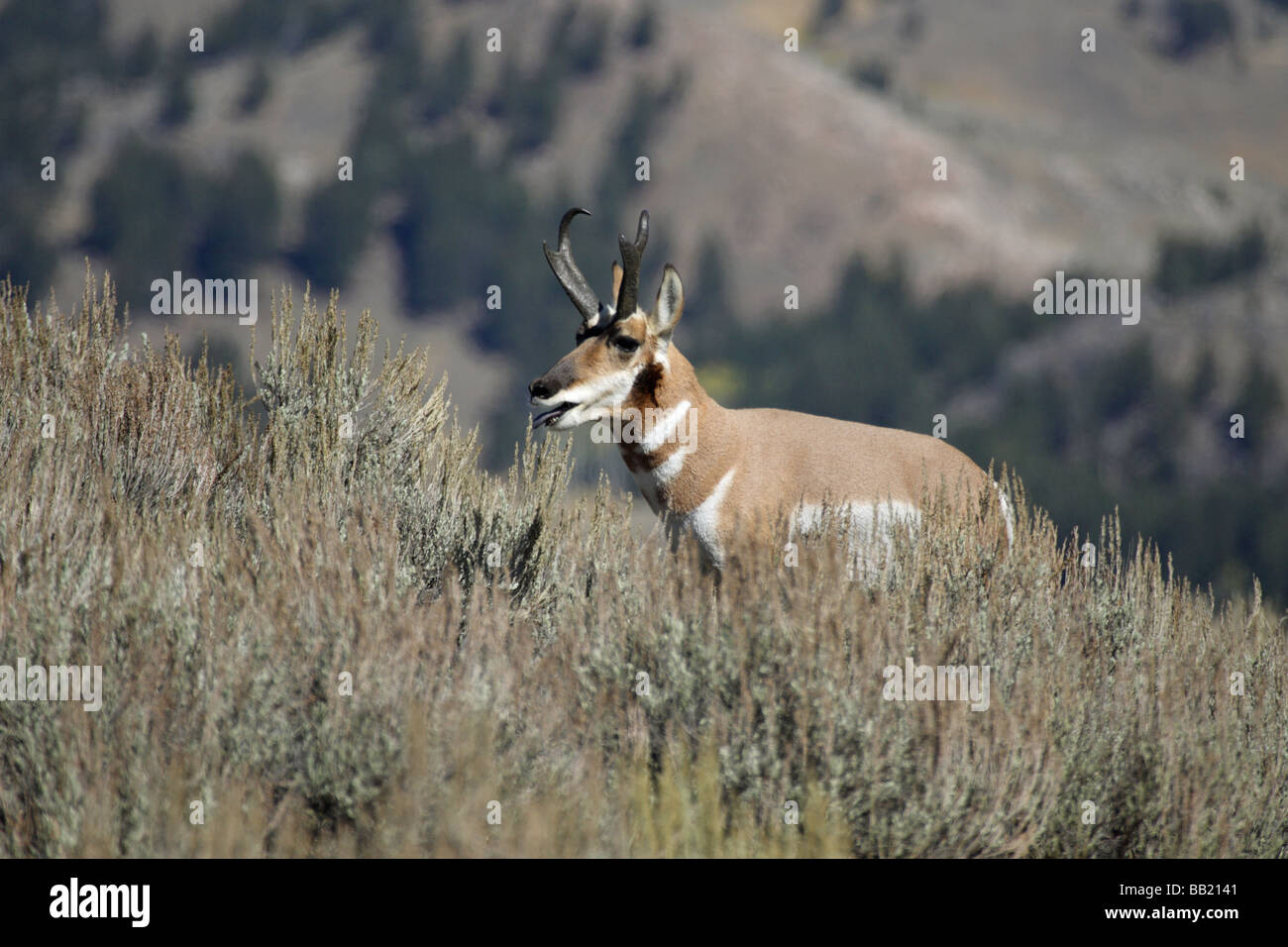 Pronghorn Antelope Antilocapra americana male standing over a female lying in the sage brush - Stock Image