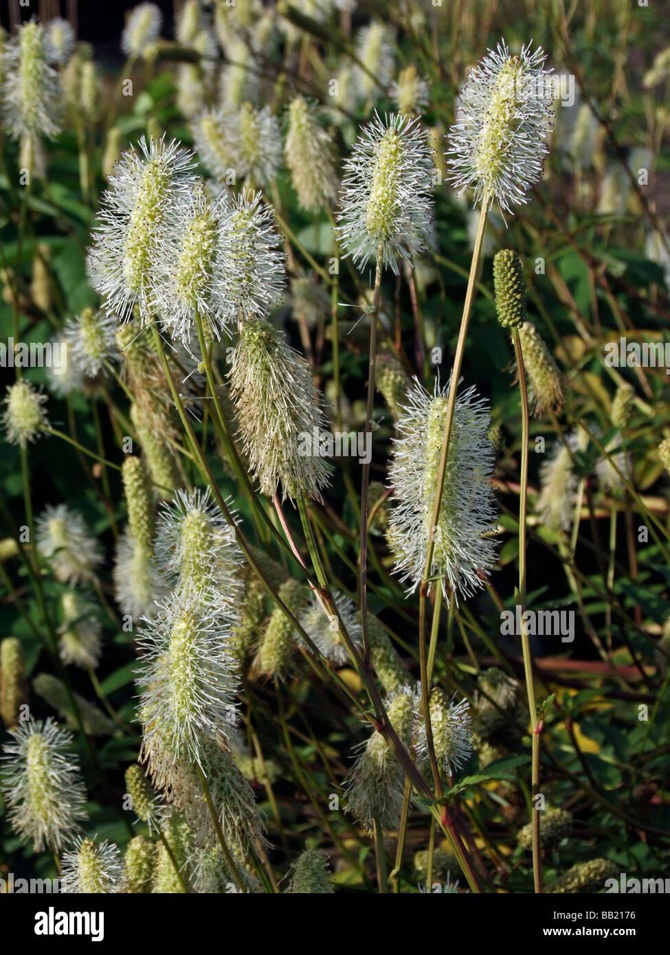 Sanguisorba canadensis, Burnet - Stock Image