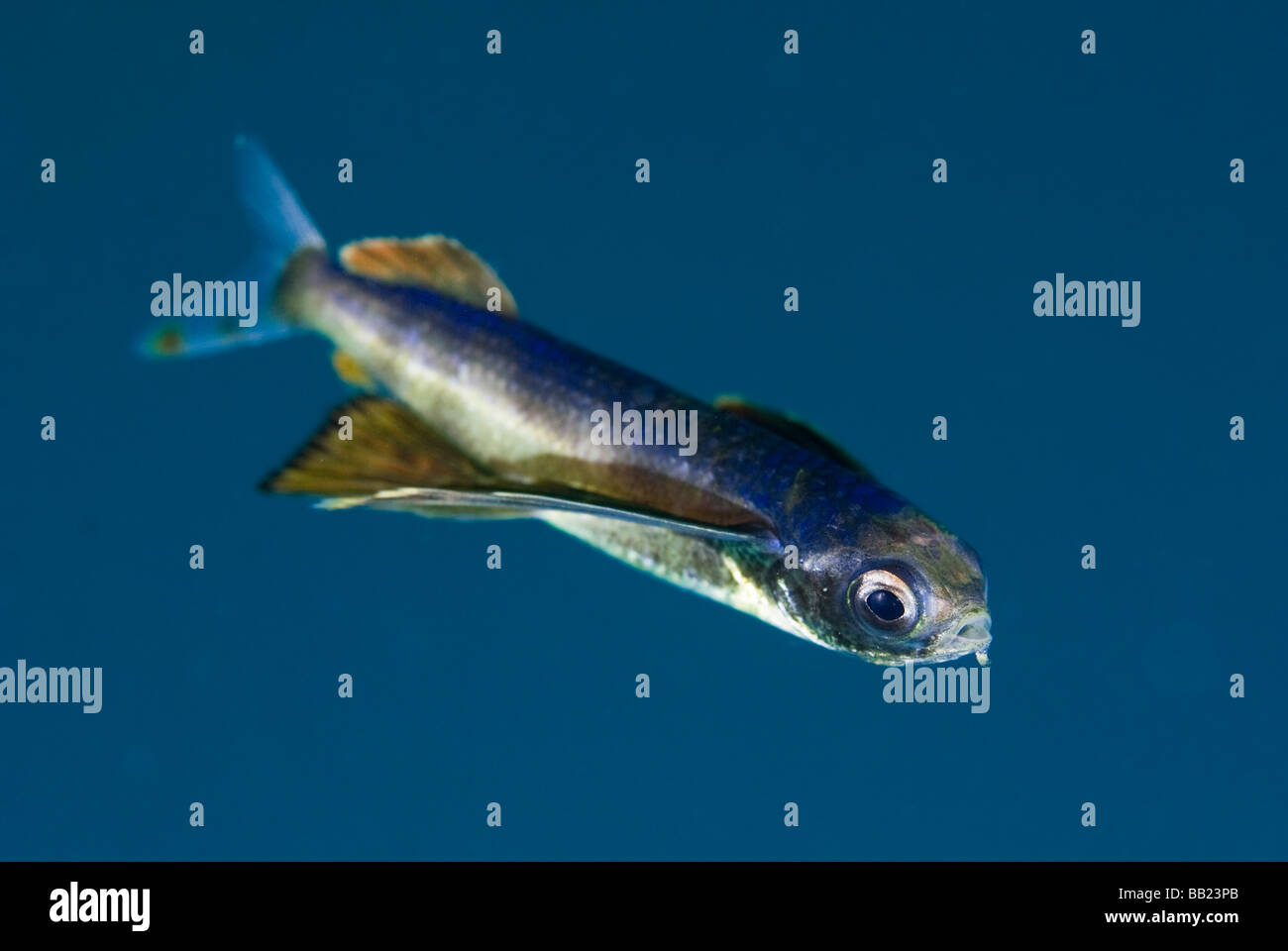 Papua New Guinea, New Britain Island. Close-up of a juvenile flying fish. Stock Photo