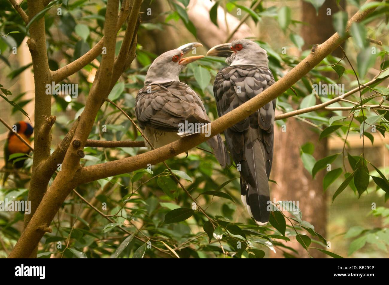 Channel-billed Cuckoos, Territory Wildlife Park, Northern Territory, Australia - Stock Image