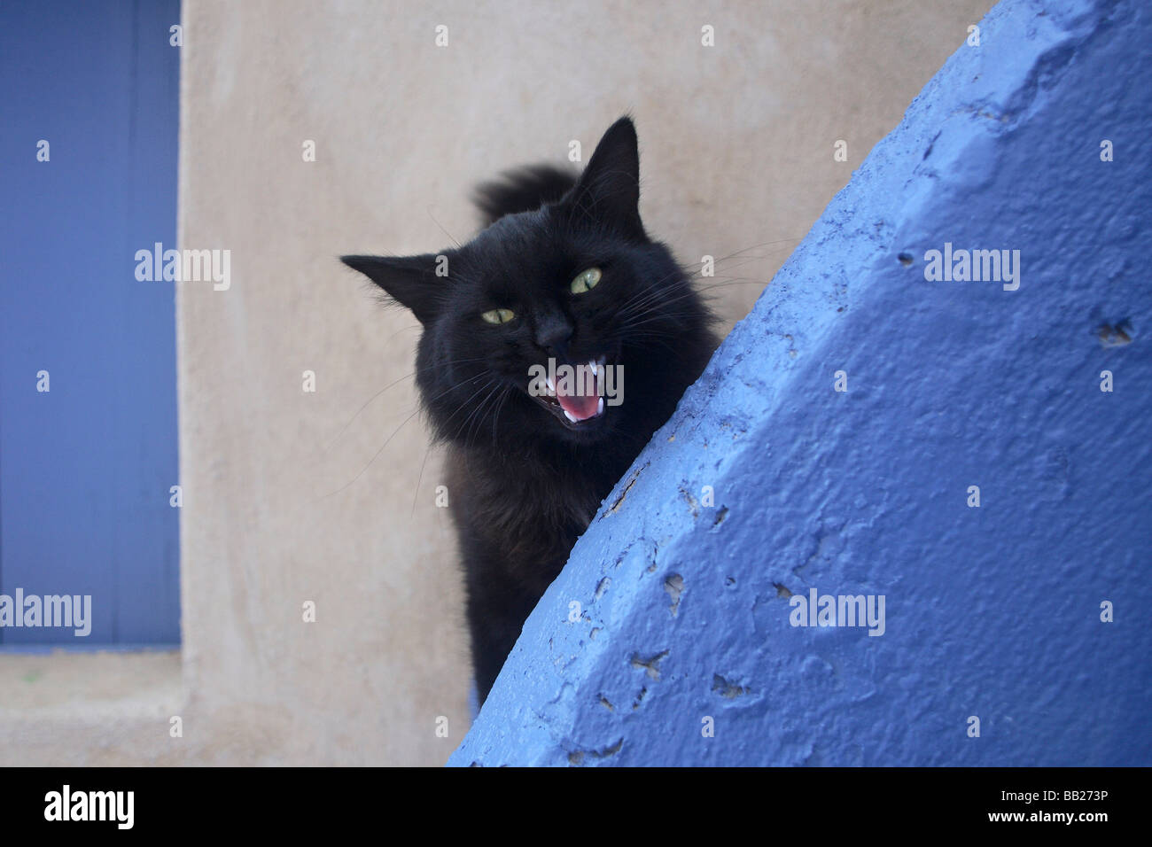 Domestic Cat (Felis silvestris, Felis catus). Black cat snarling - Stock Image