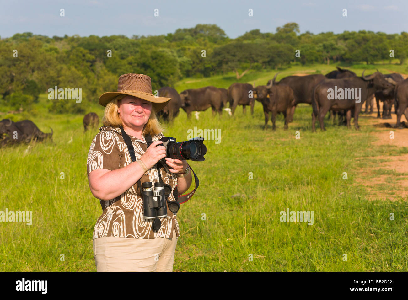 Professional photographer taking picture of Water buffalo, Syncerus caffer, Private 'Game Reserve', 'South - Stock Image