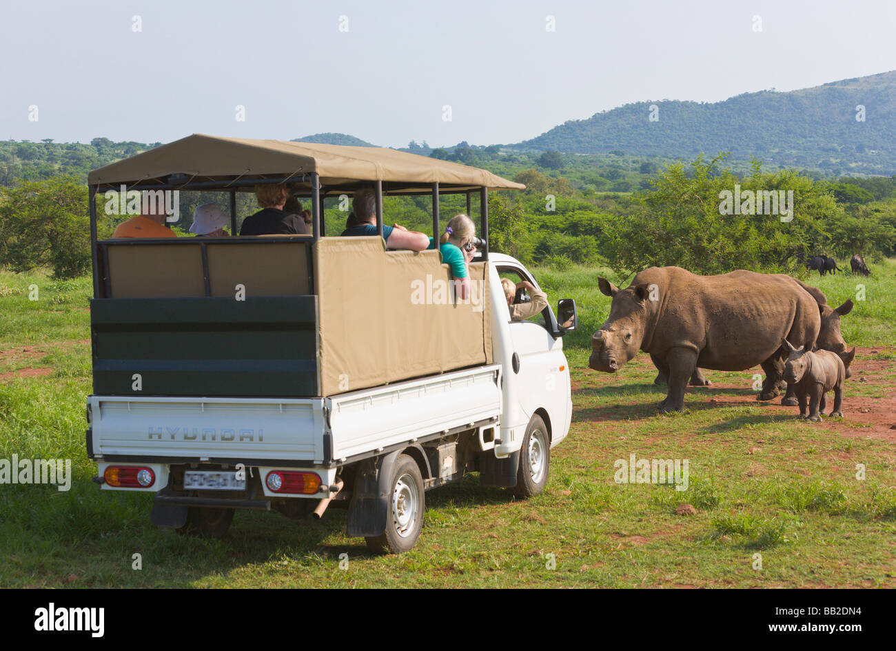 safari vehicle white rhinos, Ceratotherium simum, Private 'Game Reserve', 'South Africa' - Stock Image
