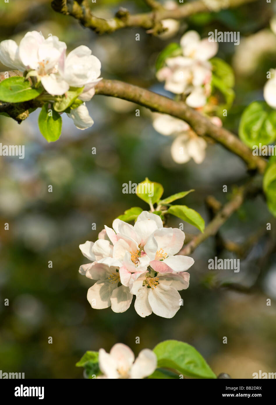 APPLE BLOSSOM ON OLD APPLE TREE IN COTTAGE GARDEN UK - Stock Image