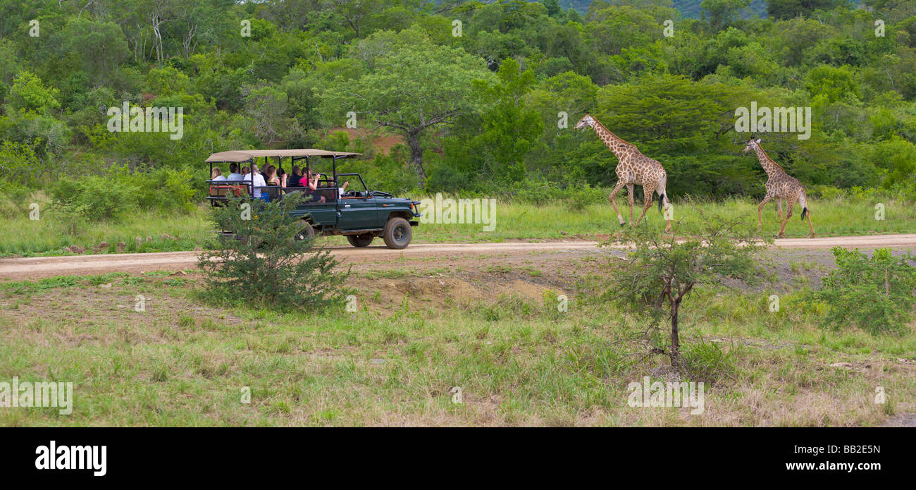People in safari vehicle viewing giraffes, Giraffa camelopardarlis, Hluhluwe 'Game Reserve', KwaZulu Natal, - Stock Image