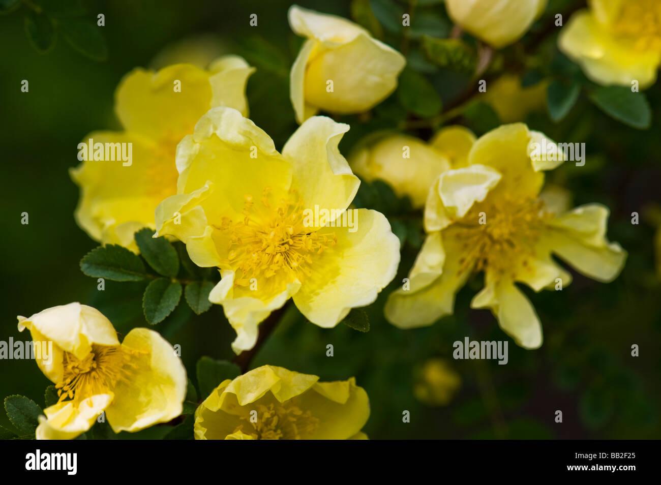 Primrose yellow Father Hugo's Rose ROSACEAE Rosa Hugonis ROSE hugos hugo yellow rose The Golden Rose of China - Stock Image