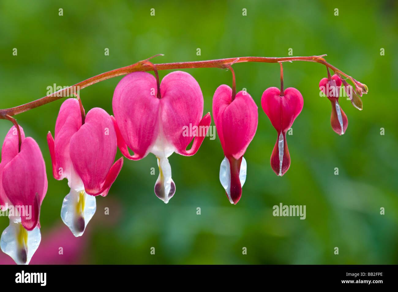 fumariaceae Dicentra spectabilis bleeding heart  branch garden green red pink heart love lovely flower blossom flowering - Stock Image