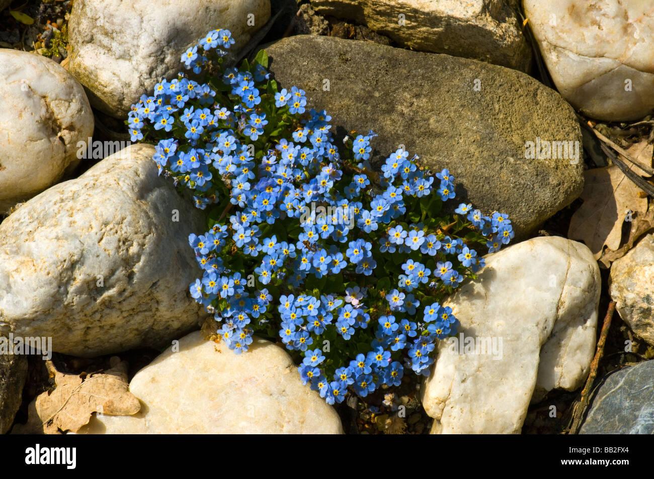 Alpine forget-me-not boraginaceae MYOSOTIS Rehsteineri alpes europe Bodensee-Vergissmeinnicht Bodensee Vergissmeinnicht Stock Photo