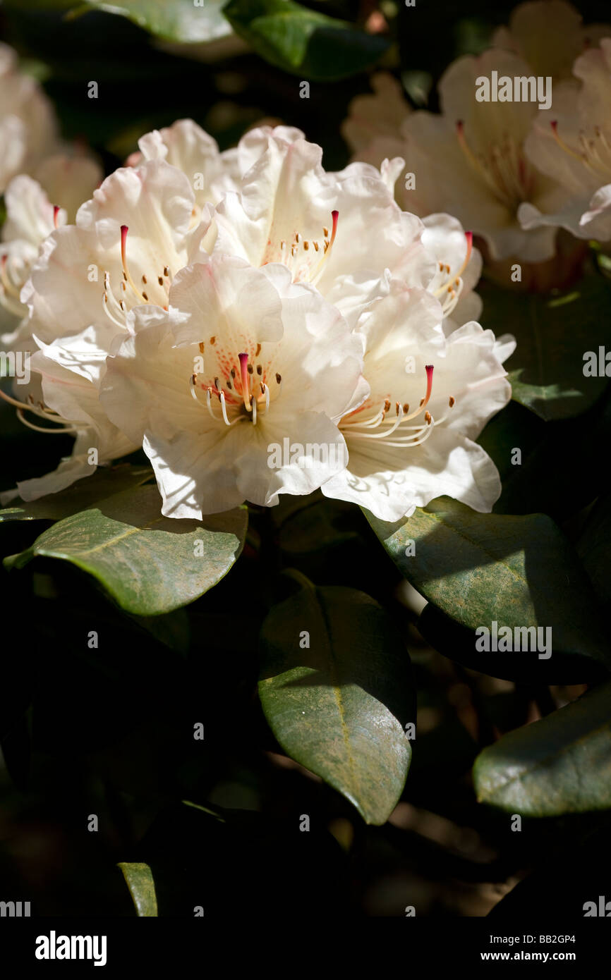 Rhododendron 'Dairymaid' UK - Stock Image