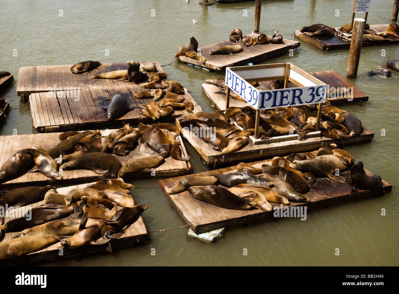 Pier 39 Sea Lions - Stock Image