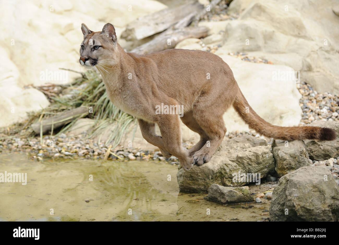 Puma Jumping - Stock Image