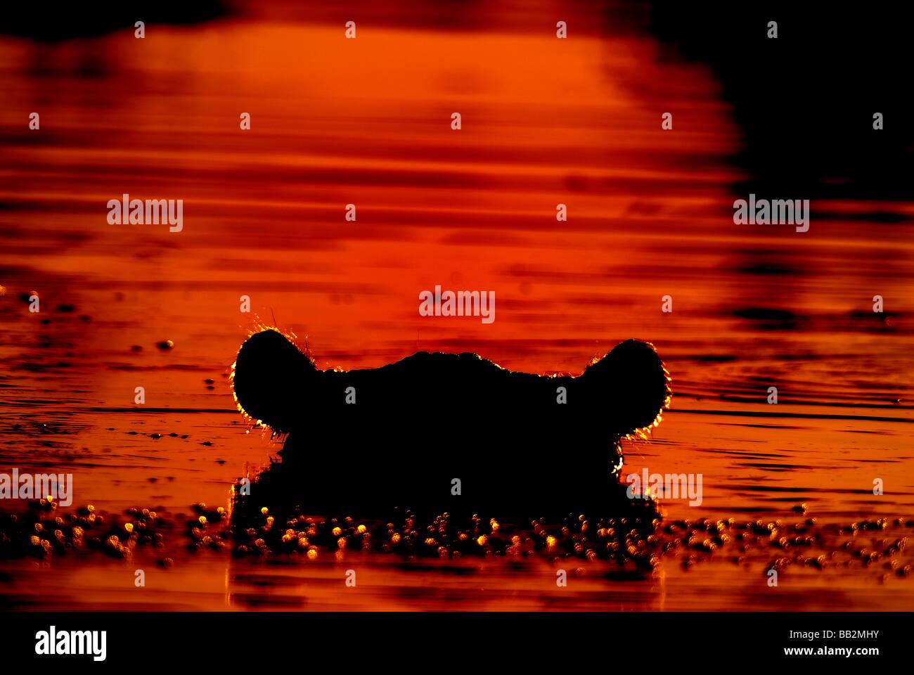 Silhouette of a Hippopotamus at sunset in Khwai river, Botswana. - Stock Image