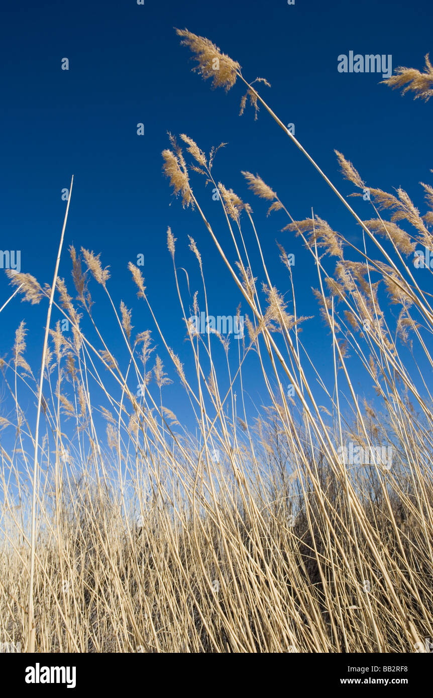 tall grass, desert landscape, New Mexico, with blue sky - Stock Image