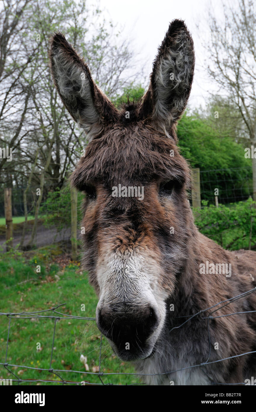 Portrait close up of a donkey donkey's head face looking at the camera watching watch curious nosey nosy Stock Photo