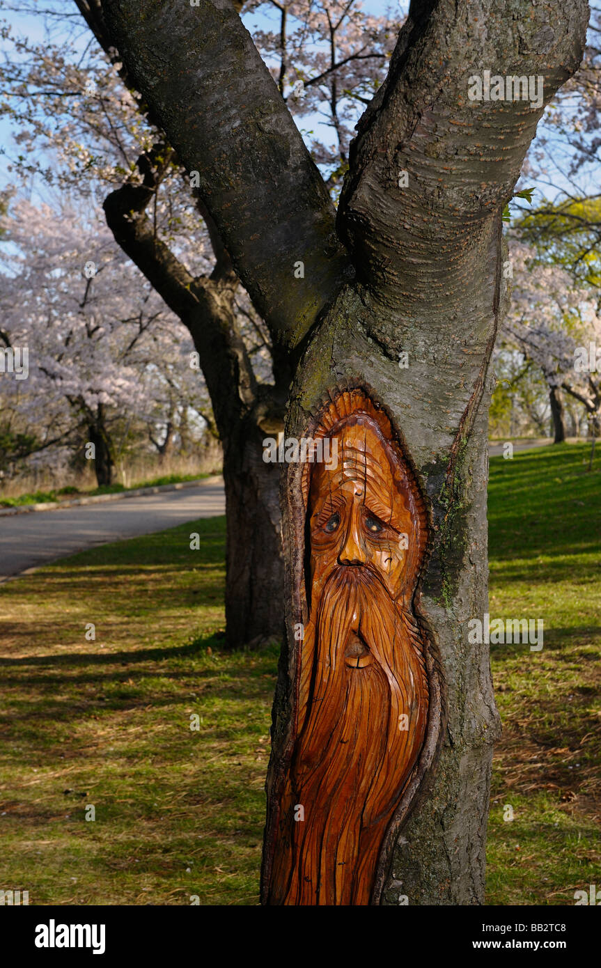 Carving of a Woodspirit in the trunk of a Cherry tree in full bloom in High Park Toronto - Stock Image