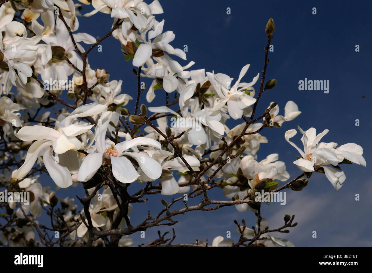 Magnolia Tree White Flowers In Stock Photos Magnolia Tree White