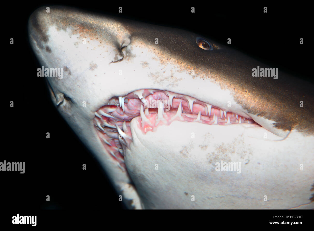 Close up on sharks teeth - Stock Image