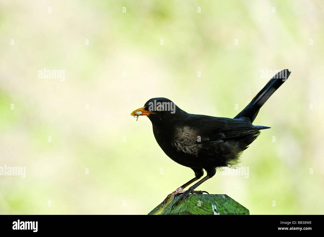 Blackbird holding breadcrumbs in beak - Stock Image