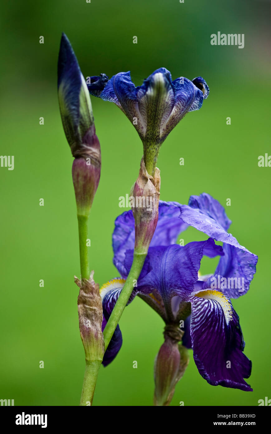 Iris Iridaceae. Purple Bearded Iris,3 flowers in different stages of development on 1 stem. Close up, bright green - Stock Image