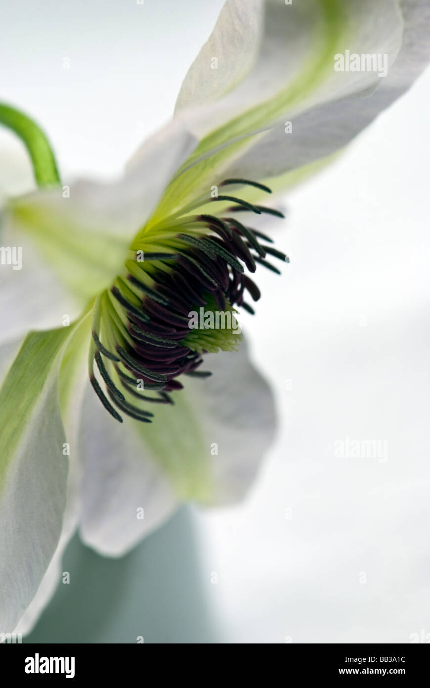 Clematis Ranunculaceae,Miss Bateman. A close up shot of the vibrant white and green striped flowerhead and bright - Stock Image