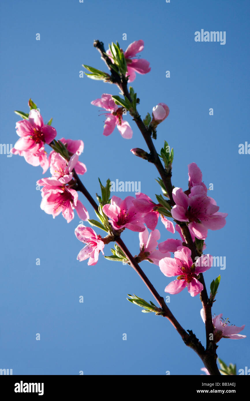 Beautiful colors of the blooming spring tree. - Stock Image